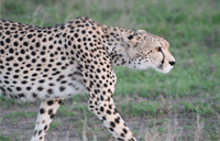 cheetahL